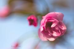 Spring cherry (kinga.lubawa) Tags: colors canon spring sensual wiosna kolory kolorowe soneczny sonecznie canon6d
