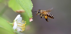 Busy bee - On Explore 13 Feb 2016 (kyuen13) Tags: