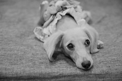 IMG_1971 (yukichinoko) Tags: dog dachshund yukata 犬 kinako 浴衣 ダックスフント ダックスフンド きなこ