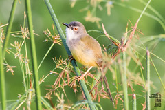 Yellow-Bellied Prinia (Prinia flaviventris) (Jerold Tan) Tags: bird animal garden singapore wildlife jeg prinia jurong common eco avian yellowbellied resident 2016 priniaflaviventris flaviventris