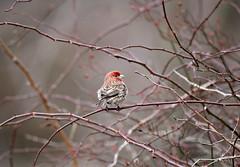 Purple Finch (Doris Burfind) Tags: winter bird nature wildlife finch purplefinch wolflane