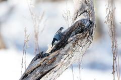 quabbinwinter2016-433 (gtxjimmy) Tags: winter bird nikon massachusetts newengland reservoir quabbin tamron nuthatch songbird quabbinreservoir d600 watersupply nikond600 150600mm