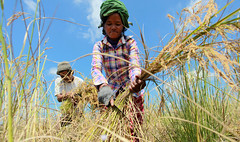A Cambodian farmer (World Bank Photo Collection) Tags: cambodia cambodian rice harvest farmer worldbank lwd jsdf lased