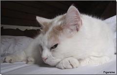 Enfin le lit pour moi toute seule !!! (Figareine- Michelle) Tags: chat coth bestofcats fabuleuse sunrays5