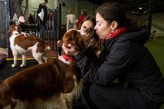 welsh-19 (Action Petz!) Tags: park uk dog dogs wales puppies south cardiff canine bark spaniel springer dogpark dogphotography welshspringer doggydaycare dogfun welshspaniel actionpetz