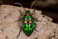 Metallic shield bug (zosterops) Tags: macro australia tasmania hobart insecta hemiptera scutelleridae knockloftyreserve canoneos6d scutiphorapedicellata canonmacrolensmpe65