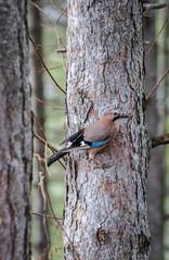 Eurasian jay (Cocodix) Tags: travel winter wild macro bird pinetree canon jay outdoor wildlife serbia tourist rs geotaged zlatibor sirogojno cocolino zlatiborskiokrug cocodix