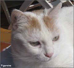 Mouna (Figareine- Michelle) Tags: chat coth bestofcats kittyschoice catmoments alittlebeauty vg~catsgallery
