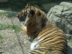 (Panthera tigris tigris) (sftrajan) Tags: mxico mexico zoo mexicocity tiger bigcat tigre pantheratigris 2016 ciudaddemxico bosquedechapultepec    cdmx zoolgicodechapultepec sonydsch90