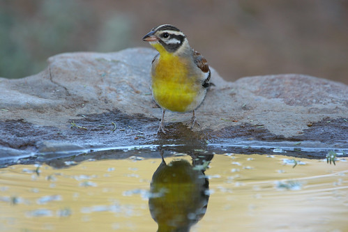 Golden-breasted  Bunting,Emberiza flaviventris, at drinking pool, Pafuri Gate , Kruger National Park0070