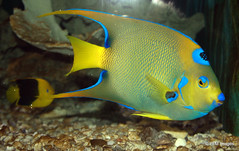 Queen Angelfish (pandt) Tags: fish water animal yellow angel canon keys eos rebel aquarium underwater florida queen keywest angelfish t1i