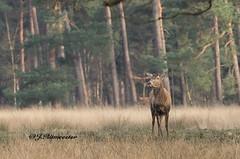 Edelhert zonder gewei (jeannette.dejong) Tags: groen ngc veluwe bruin gelderland naturelovers edelhert