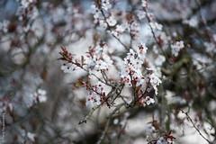 Spring is coming (Pierre Fauquemberg) Tags: france nature fleur nikon bokeh zen positive tamron arbre iledefrance printemps flou saison yvelines conflanssaintehonorine floraison profondeurdechamp tamron7020028 tamron70200mm28 nikond750 pierrefauquemberg