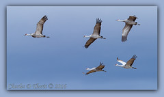 Five in the Sky (ctofcsco) Tags: 1800 1d 1div 280mm 45 canon colorado cranes ef200mm ef200mmf2lisusm ef200mmf2lisusm14x eos1dmarkiv eos1d 2015 2016 alamosa birds explore explored geo:lat=3745997671 geo:lon=10614014486 geotagged image landscape migration montevista montevistanwr nationalwildliferefuge nature northamerica photo photograph picture sanluisvalley sandhillcrane sandhillcranefestival spring wildlife wwwmvcranefestorg zinzer extender extender14x extender14xii extenderef14x extenderef14xii f45 flying sandhillcranes supertelephoto teleconverter telephoto unitedstates usa bird animal outdoor best wonderful perfect fabulous great pic