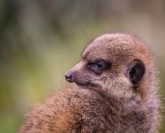 Meerkat (Kintaro_Yamata) Tags: face animal animals zoo meerkat wildlife cologne tier erdmnnchen