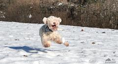 Joy, Joy, Joy & Joy     (Xena*best friend*) Tags: pet pets snow dogs animals fun puppies energy flickr mt happiness piemonte speedy attentive clever marktwain pedigree intelligent inmotion waterdog tartufo enci snifferdog lotsoffun lagotto ohhappyday tartufi flyingdogs retrieverdog canedatartufo lagottoromagnolo dogshavingfun trufflehunter atfullspeed piedmontitaly affecionate allrightsreserved canonef70300mm canoneos500d dogsinthewhitestuff lagottoromagnolodogs lagottopuppies waterretrievingdogs trufflesniffer dogsplayinginthesnow acquaticdog excellentsenseofsmell eosrebelt1i greatcompanionforchildren retrievertrufflesdog theonlybreedofdogthatisofficiallyrecognizedasspecializedintrufflehunting canidariporto canidacerca canidaacqua hypoallergeniccoats dubaideisilvanbull