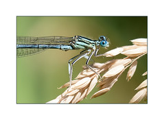 Demoiselle sur son épi (sviet73) Tags: france macro nature animal demoiselle damselfly epi insecte macroelsalvador