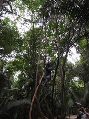 "Lamanai: la liane de Tarzan <a style=""margin-left:10px; font-size:0.8em;"" href=""http://www.flickr.com/photos/127723101@N04/25805348100/"" target=""_blank"">@flickr</a>"
