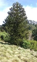 Araucaria (Chile) (sftrajan) Tags: tree primavera arbol berkeley april araucaria botanicgarden arbre baum springtime 2016 botanischergarten ogrdbotaniczny chileanplants southamericanplants universityofcaliforniabotanicgarden