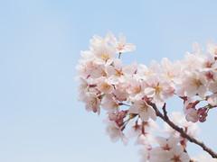 (Polotaro) Tags: flower nature pen olympus   3    mzuikodigital45mmf18 epm2