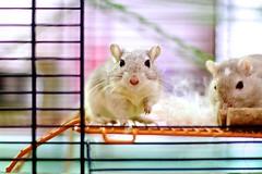 Gerbil (MigKenzie Photos) Tags: colour animal gerbil mammal rodent