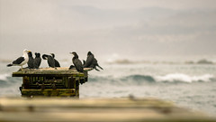 Guys... I think we have a mole (Rodrigo Almendras V.) Tags: chile sea beach canon waves seagull tamron gaviota algarrobo t3i canont3i