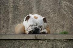 Love of my heart (Sarah Boude (Lolminol)) Tags: dog pet cute english buddy bulldog