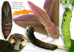Elephant Hawk-moth life stages (Franziska Bauer) Tags: moth lepidoptera sphingidae metamorphosis metamorphose hawkmoth schwrmer deilephilaelpenor weinschwrmer deilephila