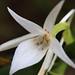 4Q4B5431_Angraecum compactum (Fleur)