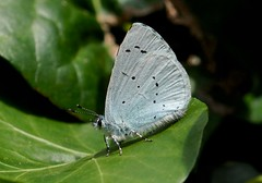Holly Blue----- Celastrina argiolus (creaturesnapper) Tags: uk europe butterflies lepidoptera lycaenidae hollyblue celastrinaargiolus