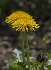 Les mes soeurs (mrieffly) Tags: fleurs jaune pissenlits canoneos50d printempsvosges 100400issriel