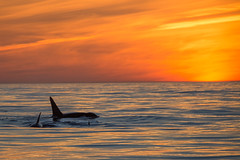 Killer Whales Sunset (toryjk) Tags: california sunset eye nature monterey pacific dolphin wildlife montereybay pacificocean killer whale orca patch killerwhale orcinusorca cetacean cetacea montereybaywhalewatch