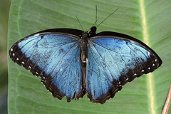 Peleides Blue Morpho / Vlinder / Morpho peleides (Greeney5) Tags: blue butterfly insect insects lepidoptera morpho vlinder insecten morphopeleides theemperor nymphalidae vlindertuin commonmorpho peleidesbluemorpho tropischevlindertuin vlindertuinkleincostarica kleincostarica