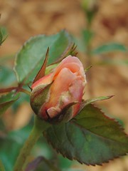 Apricot Rose (beckyj351) Tags: flower rose apricot bud