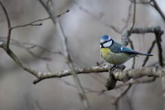 Blmeis (Bjrn Lundby) Tags: bird outdoor bluetit blury nittedal cyanistescaeruleus blmeis canoneos7dmarkii sigma150600mmf563cdgoshsm