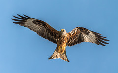 Who ruffled my feathers? (davidrhall1234) Tags: bird nature birds nikon wildlife yorkshire raptor birdsofprey redkite wildlifetrust harewood rspb muddyboots birdsofbritain coth5 nikond7100