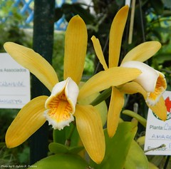 Cattleya forbesii (Sylvio-Orqudeas) Tags: flowers flores orchids orchidaceae cattleya species orqudeas espcies forbesii