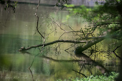 Turtle Row (Gabriel FW Koch) Tags: trees light wild sun sunlight green nature water animals yellow canon reflections river eos canal stream dof bokeh wildlife branches telephoto turtles swamp limbs wilderness