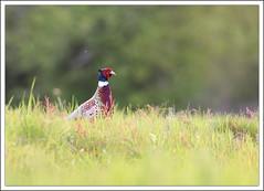 Faisan de colchide (guiguid45) Tags: bird nature nikon phasianuscolchicus oiseaux sauvage gibiers loiret 500mmf4 d810 faisandecolchide