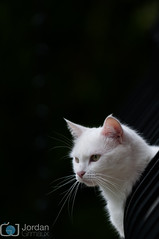 Watcher (grimaux.jordan) Tags: pink white black look cat nose golden eyes little head beware good watch kitty ears whiskers watcher