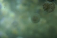 DSC04724 (Mr.Q ( K+U)) Tags: blue macro vancouver aquarium jellyfish