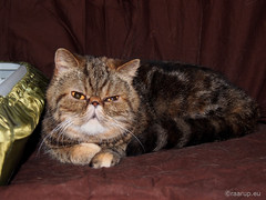 My Exotic friend, 3 (Finn Frode (DK)) Tags: show pet animal cat denmark tabby indoor olympus exotic catshow virum exo exoticshorthair darak fif omdem5 alacocciosccqi ccqi