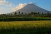 Rice. Mt Mayon (Laura Jacobsen) Tags: volcano philippines mayon bicol luzon mtmayon legaspi legazpi bicolandia mayonvolcano