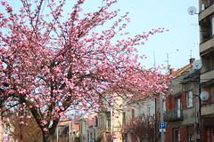 IMG_0116 (Zenona Avramidis) Tags: pink flowers trees floral bloom sakura mukachevo