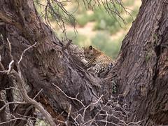 Resting in a huge camelthorn tree (jaffles) Tags: park holiday nature southafrica wildlife natur olympus safari leopard predator kalahari ktp südafrika transfrontier kgalagadi