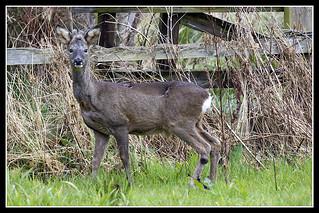IMG_0008 Roe Deer