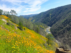 IMG_0454r2 Joans iphone (Steve Perdue) Tags: poppies tuolumneriver wardsferry