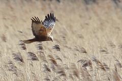 Male Marsh Harrier (Robin M Morrison) Tags: male somerset hide avalon rspb somersetlevels marshharrier rspbhamwall