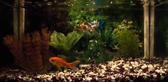 Walker & Pi-Pi (A. Blanco G.) Tags: pez agua acuario cometa shubunkin fra