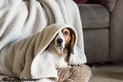 My old girl.  #Bagel #Beagle #basset #Hound (thompsonm118) Tags: beagle hound basset bagel